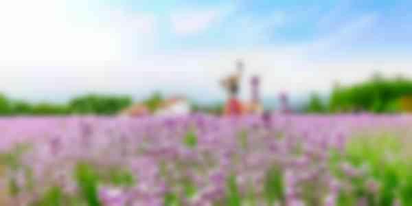 Goseong Lavender Tour