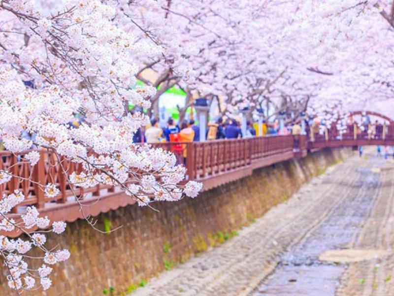 Jinhae Cherry Blossom Festival 2020